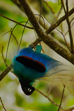 Blue_Bird_Hang_Aba_RR1.jpg